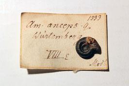 """Ammonites anceps"""