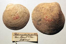 """""""Pectunculus pulvinatus"""""""