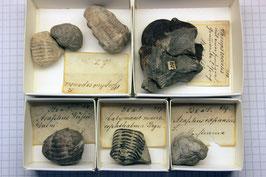 Konvolut Trilobiten - 5 historische Stücke