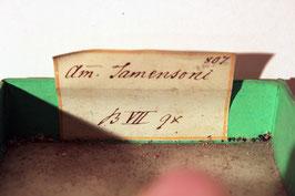 "4x ""Ammonites Jamensoni?"" (historische Stücke)"