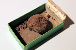 """Ammonites microstoma"" (historischer Feldfund)"