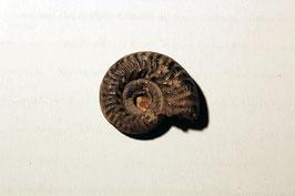"""""""Ammonites hecticus nodosus"""""""