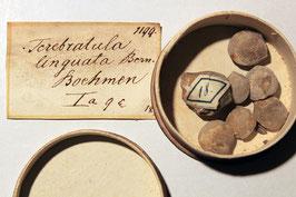 4 Brachiopoden-Arten, insges. 18 Exemplare