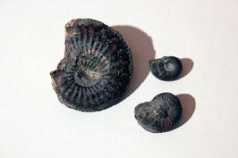 """3x """"Ammonites amaltheus"""" (historische Stücke)"""