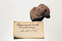 """Serpula gordialis"""