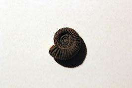 """""""Ammonites flexuosus"""" (historisches Stück)"""