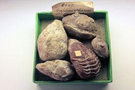 """5 historische Exemplare der Trilobiten-Gattung """"Asaphus"""""""