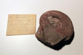 """""""Ammonites communis"""""""