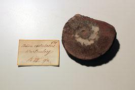 """""""Ammonites costulatus"""""""