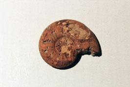 """""""Ammonites radians"""" von Altdorf"""