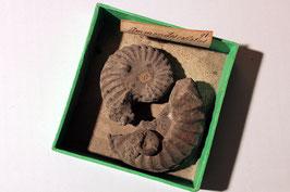 """""""Ammonites costatus"""""""