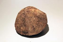 Conoclypus conoideus aus St. Pankraz (1)