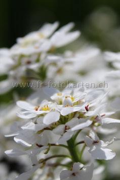 Weisse Schleifenblume / Karten Nr.1043FR