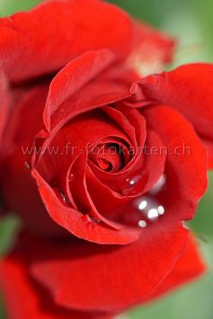 Rose / Karten Nr.1056RR