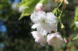 Weisse Blüten / Karten Nr.1038FR