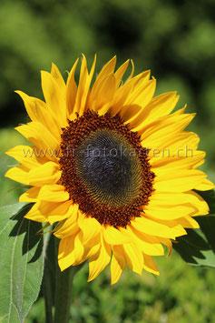 Sonnenblume / Karten Nr.1065FR