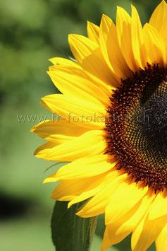 Sonnenblume halb hoch / Karten Nr.1067FR