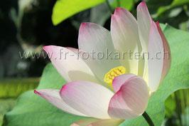 Lotus Blüte / Karten Nr.1036FR