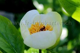 White Flower / Karten Nr.1042FR