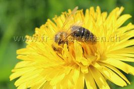 Frühjahrs Biene / Karten Nr.1022