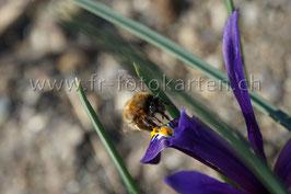 Fleissige Biene / Karten Nr.1016RR