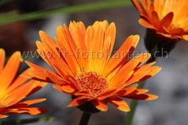 Gerbera orange / Karten Nr.1059FR