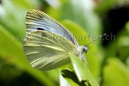 Schmetterling / Karten Nr.1060FR