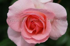 Rosa Rose / Karten Nr.1054RR