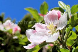 Apfelblüte / Karten Nr.1051FR