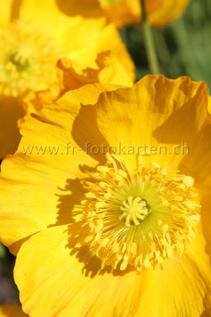 Gelbe Blütenpracht / Karten Nr.1032FR