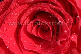 Rosenblüte rot / Karten Nr.1009FR