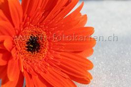 Rote Blüte im Schnee / Karten Nr.1011FR