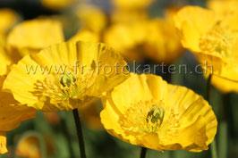 Gelbes Blühen im Frühling / Karte Nr.1033FR