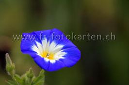 Blume blau / Karten Nr.1140FR