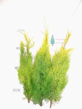 Chamaecyparis Lawsoniana 'Stardust'