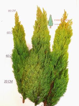Chamaecyparis Lawsoniana 'Ellwoods Gold'
