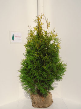 Thuja occidentalis 'Yellow Ribbon' 120-140 cm.