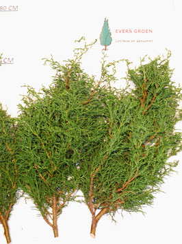 Chamaecyparis lawsoniana 'licopodioides'