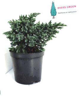 "Juniperus  ""Blue star"""