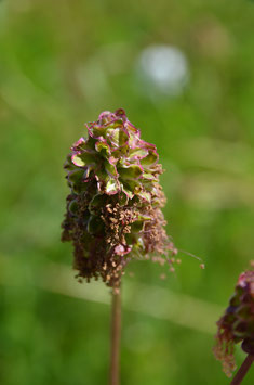Wiesenknopf, Kleiner - Sanguisorba minor
