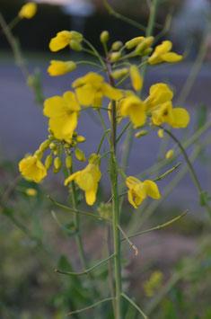 Raps-00 - Brassica napus oleifera