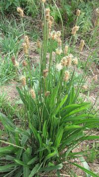 Spitzwegerich - Plantago lanceolata