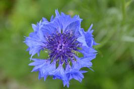 Kornblume blau - Centaurea cyanus