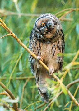 """Poster """"Waldohreule / Long-eared Owl"""""""