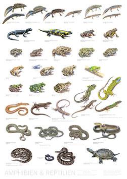 Poster Amphibien & Reptilien