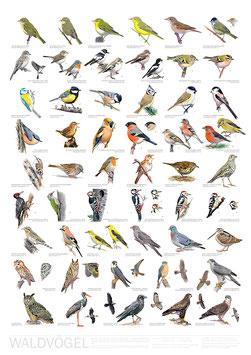 Poster Waldvögel / Woodland Birds