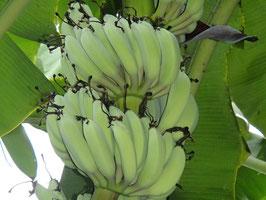 銀バナナ 約800g(バナナの大きさにより5~10本前後)