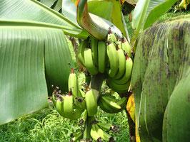 ドワーフタイワンバナナ約800g(バナナの大きさにより5~10本前後)(タイワンバナナの背が低い品種)