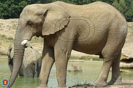 4-009-10 ELEPHANT DES SAVANES
