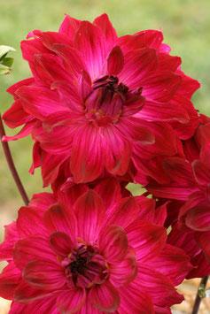 Blume von Hawaii